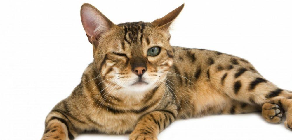 chat allongé