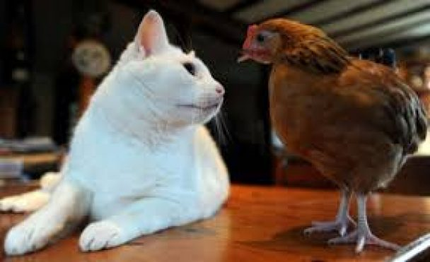 Cohabitation entre chat et poule