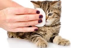 soigner conjonctivite chat
